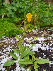 Die Arnikablüte steht auch nach Verletzungen und Traumen aufrecht und lässt nur ein wenig ihre Blütenblätter hängen.
