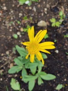 Die Arnika-Blüte hat zwar ein wenig an Schönheit eingebüßt, aber sie hat ihre Verletzungen und Trumen überwunden.
